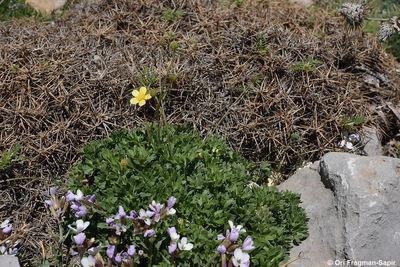 Ranunculus demissus