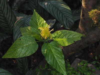 Schaueria calytricha