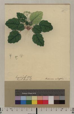 Androsace cordifolia (65)