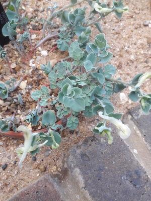 Corydalis darwasica