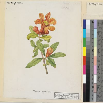 Punica granatum original illustration from Curtis's Botanical Magazine