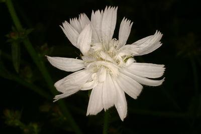 Cichorium intybus f. album
