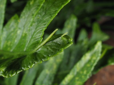 Polypodium cambricum 'Hornet'