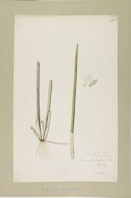 Scirpus tumidus R., watercolour on paper