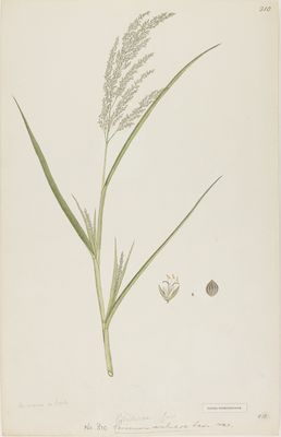 Panicum miliare Lamarck, watercolour on paper
