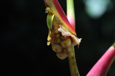 Heliconia L.