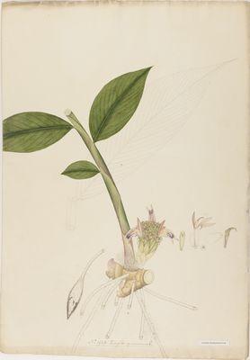 Zingiber squarrosum R., watercolour on paper