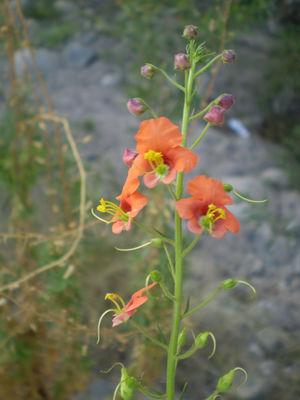 Alonsoa meridionalis (L. f.) Kuntze