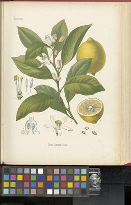 Citrus limonum risso, Köhler