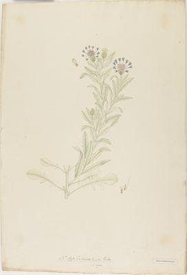 Centaurea lanata Roxb., watercolour on paper