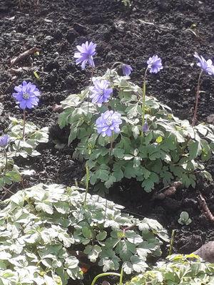 Anemonoides apennina