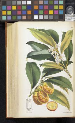 Citrus aurantium var. japonica, Fitch