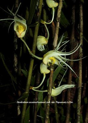 Dendrobium acuminatissimum var. papuanum
