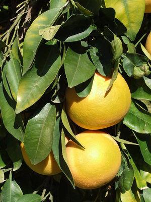 Citrus × paradisi