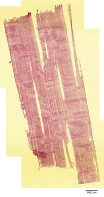 A specimen from Kew's microscope slide collection - radial longitudinal section of wood. Image ref: KMIC000625_2016.08.22-S3