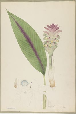 Curcuma caesia R., watercolour on paper