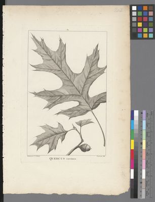 Quercus coccinea, uncoloured engraving on paper