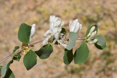 Lonicera nummulariifolia