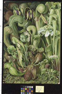 North American Carniverous Plants