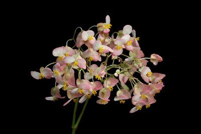 Begonia heracleifolia