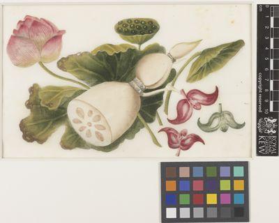 Nelumbo (Lotus)