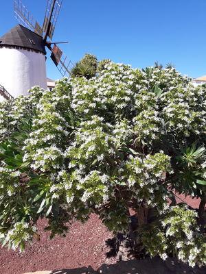 Echium decaisnei subsp. purpuriense