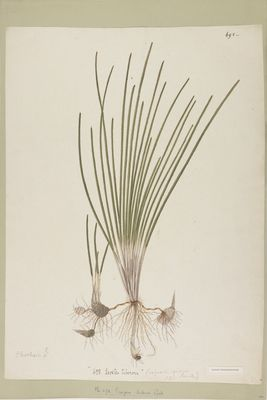 Scirpus dubius R., watercolour on paper