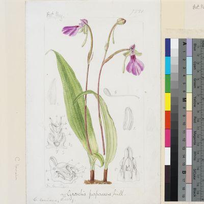 Cynorchis purpurascens Lindl. original illustration from Curtis's Botanical Magazine