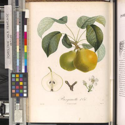 Bergamotte d'Ete, Pomologie Francaise