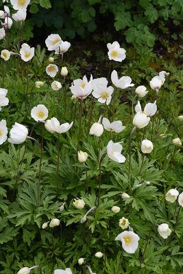 Anemonoides sylvestris