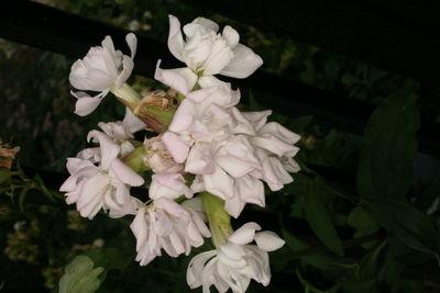 Saponaria officinalis 'Alba Plena'