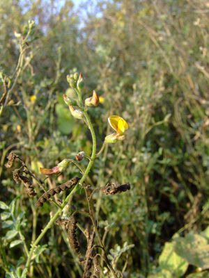 Adesmia muricata var. dentata (Lag.) Benth.