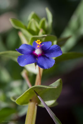 Lysimachia arvensis var. caerulea