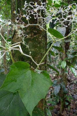 Begonia convolvulacea (Klotzsch) A.DC.