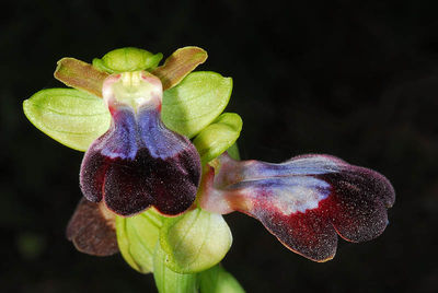 Ophrys fusca subsp. iricolor