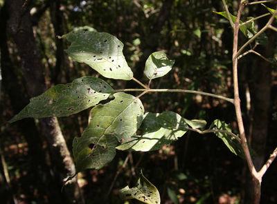 Handroanthus impetiginosus (Mart. ex DC.) Mattos