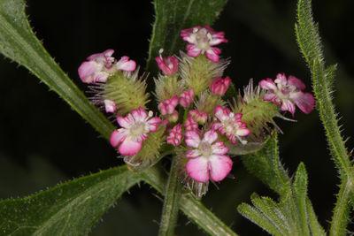 Turgenia latifolia