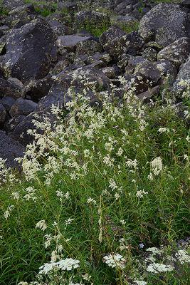 Koenigia alpina