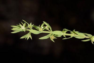 Lysimachia linum-stellatum