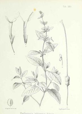 Phyllostegia tahitensis