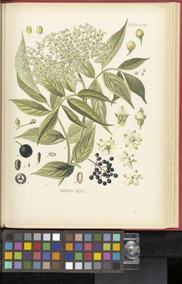 Sambucus nigra, Köhler