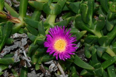 Carpobrotus aequilaterus
