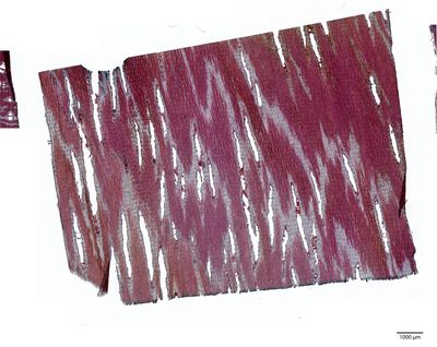 A specimen from Kew's microscope slide collection - tangential longitudinal section of wood. Image ref: KMIC000408_2016.07.01-S2