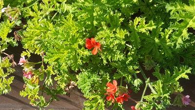 Pelargonium 'Scarlet Pet'