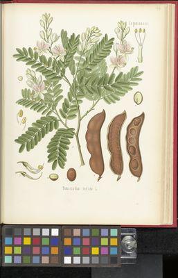 Tamarindus indica, Köhler