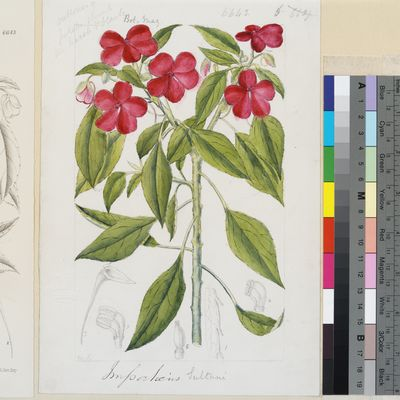 Impatiens sultani Hook.f. original illustration from Curtis's Botanical Magazine