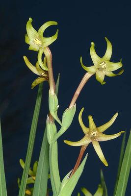Freesia viridis
