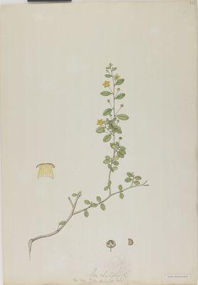 Sida chinensis Retz., watercolour on paper
