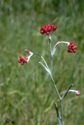 Helichrysum sanguineum