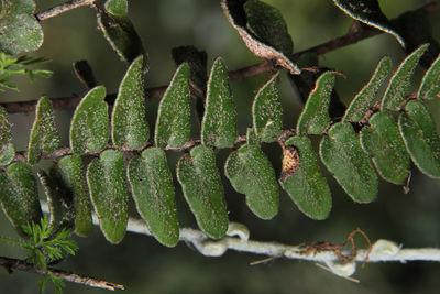 Hemionitis crassifolia